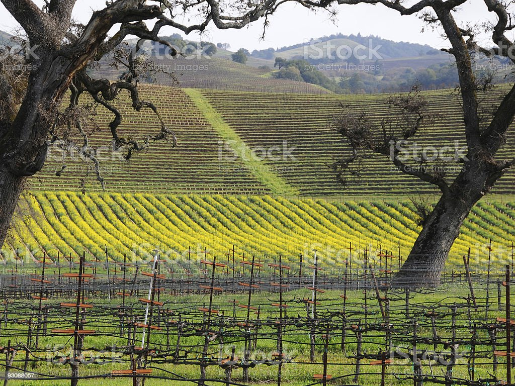 Vineyards of Sonoma County royalty-free stock photo