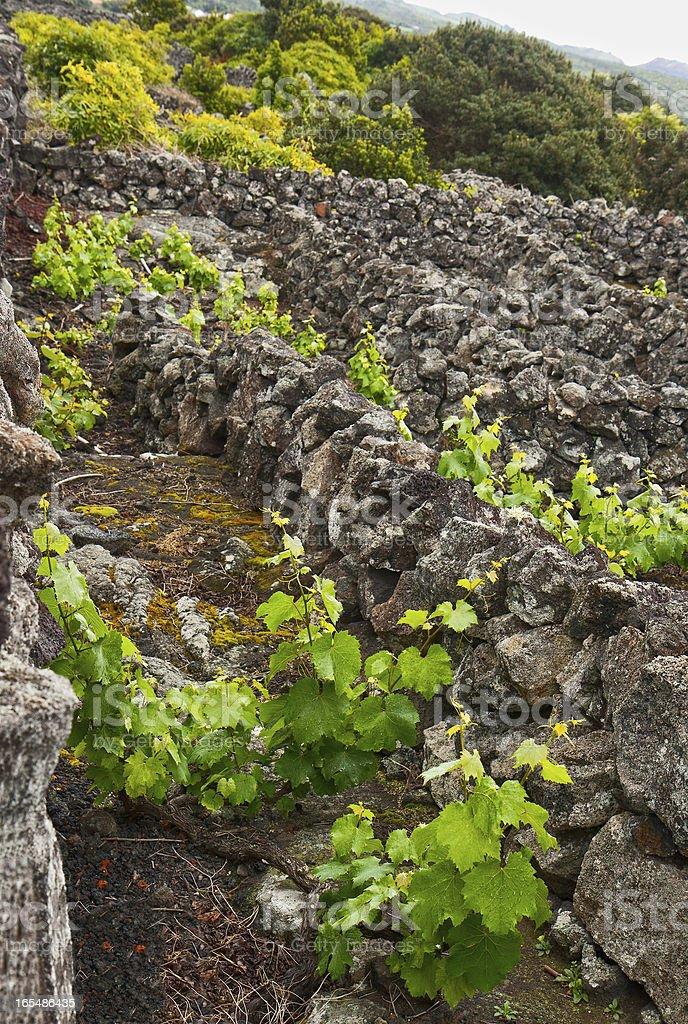 Vineyards of the island Pico royalty-free stock photo