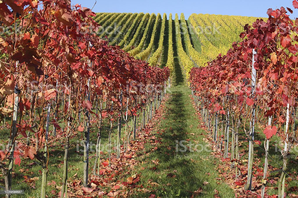 Vineyards of Weinsberg in Germany Fall stock photo