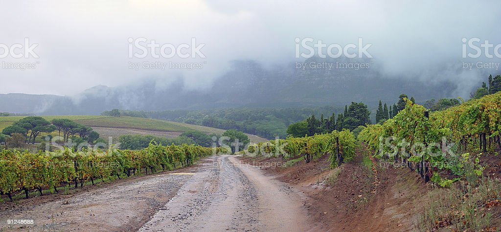 Vineyards on a foggy day stock photo