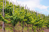 Vineyards on hill of Mosel Valley