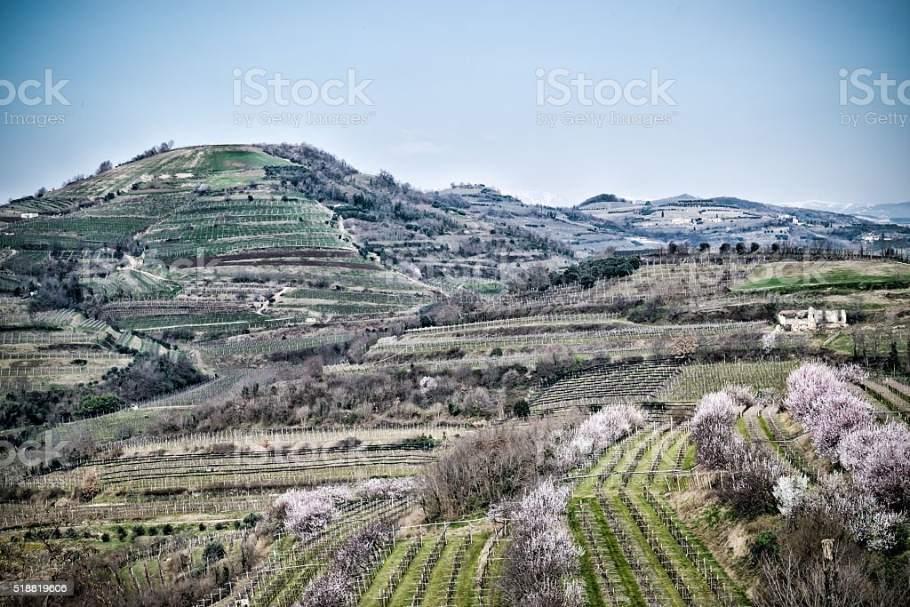 vineyards on the hills in spring, Italy stock photo