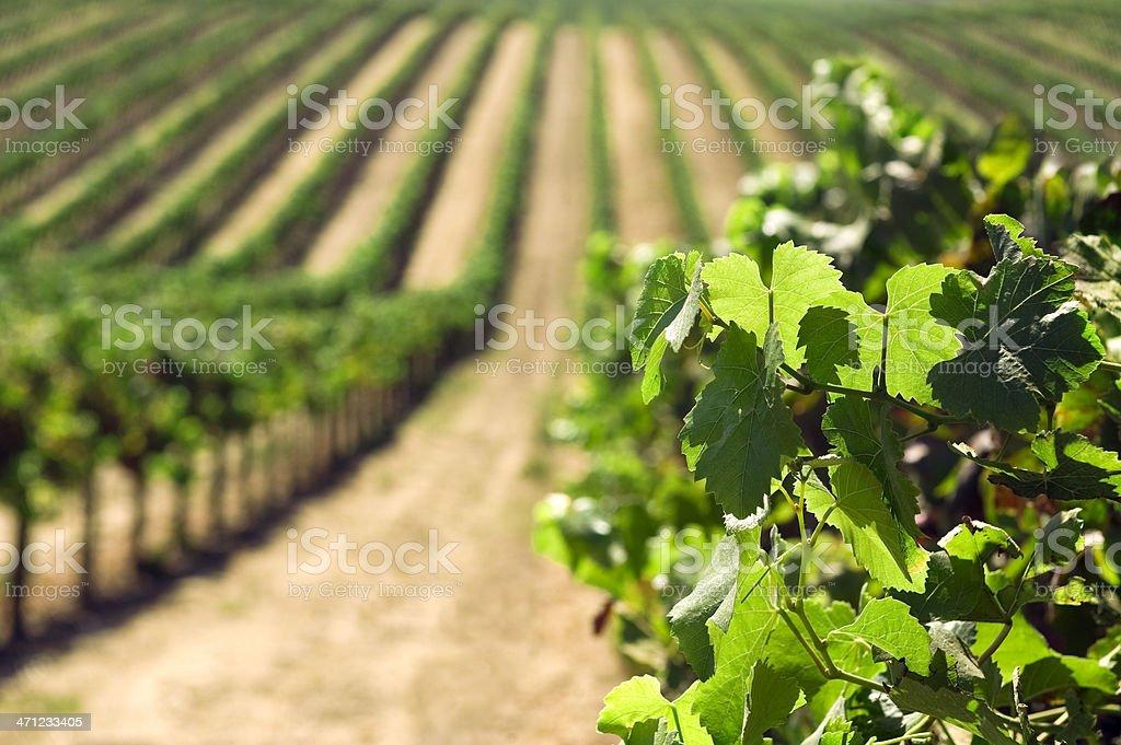Vineyards royalty-free stock photo