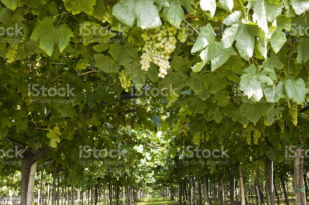 vineyards royalty-free stock photo