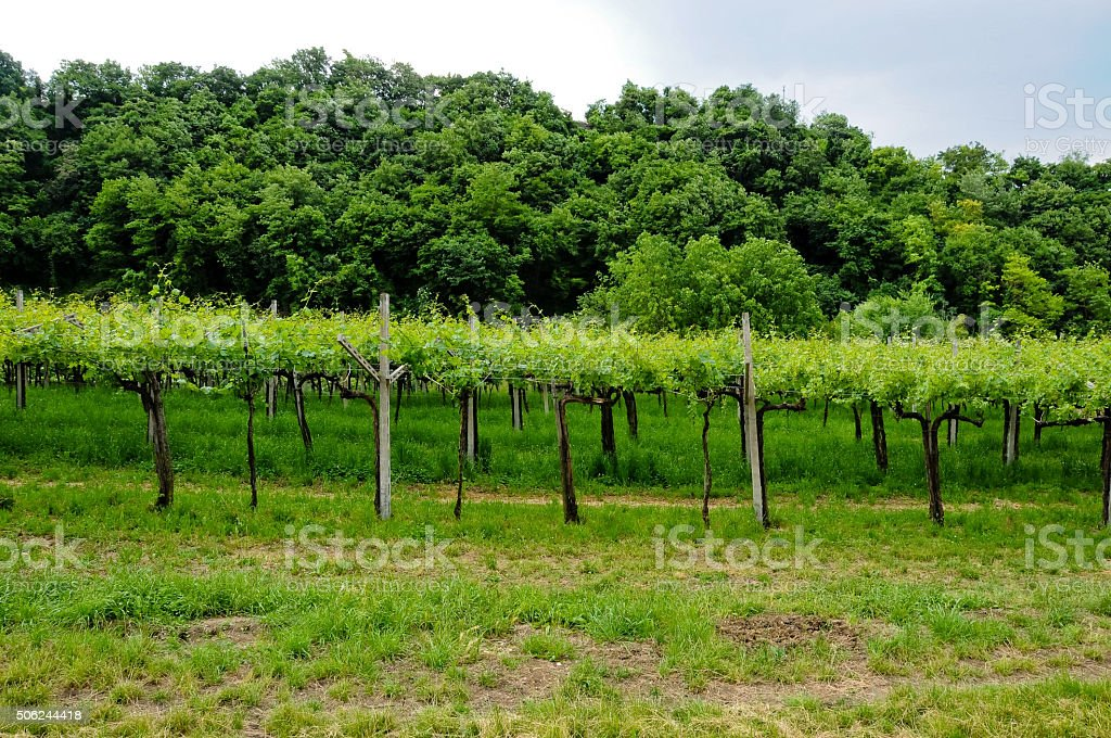 Vineyards situated in Valpolicella which produces Amarone stock photo