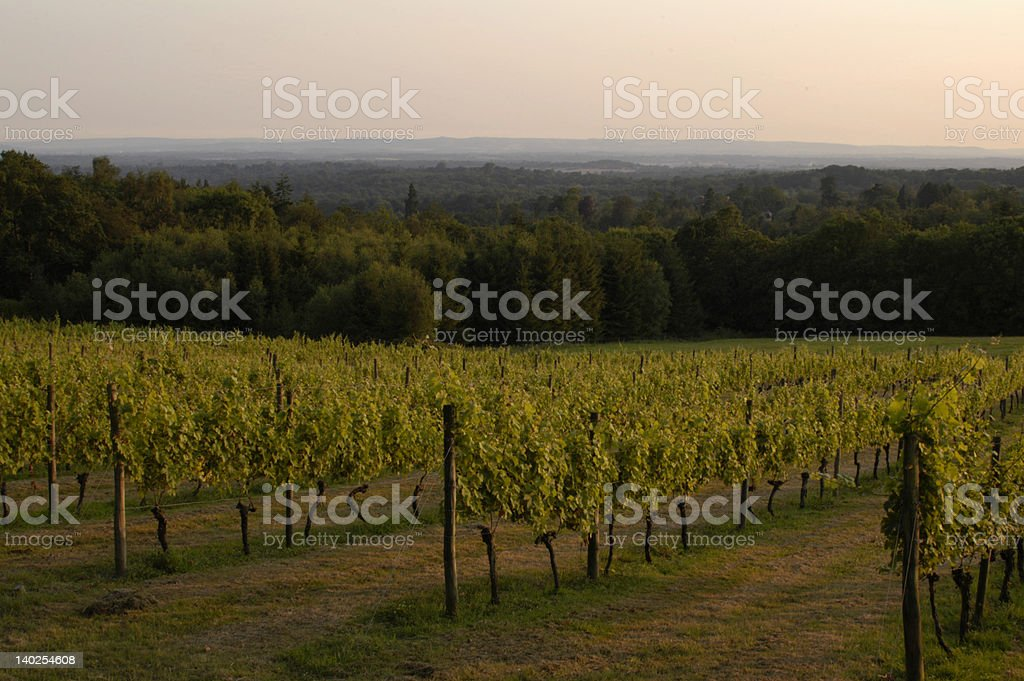 Vineyards, Sussex, England stock photo