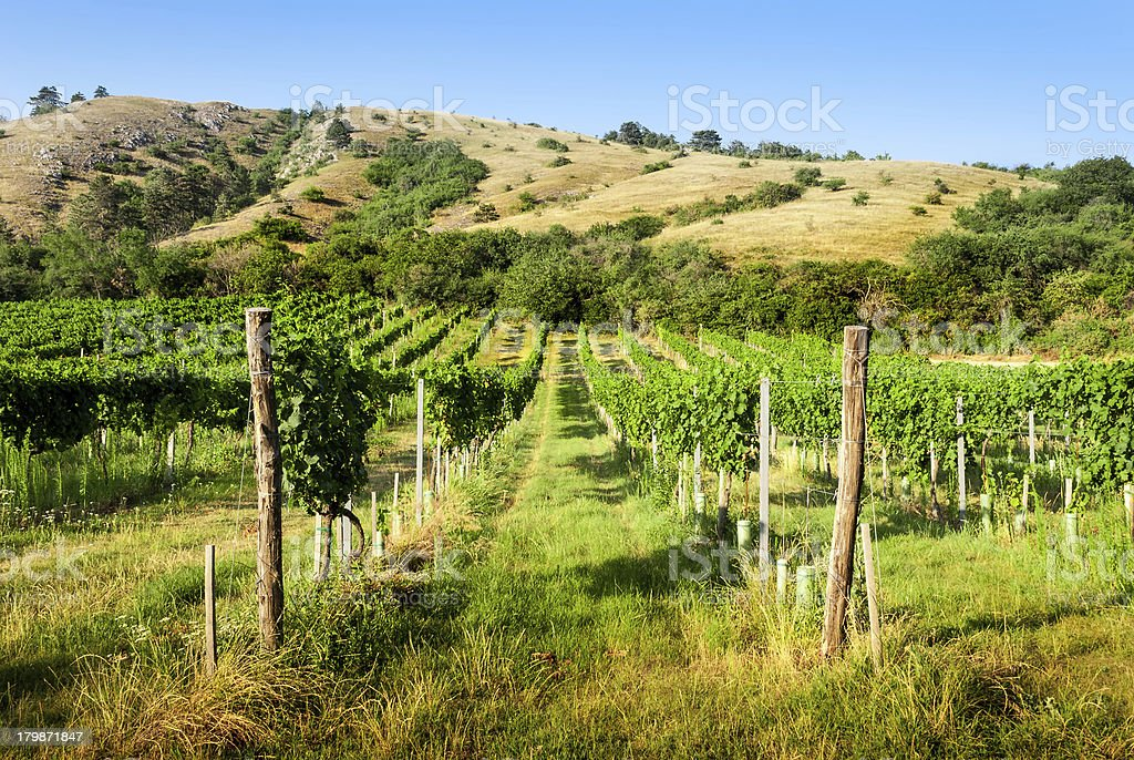 vineyards under the hill royalty-free stock photo