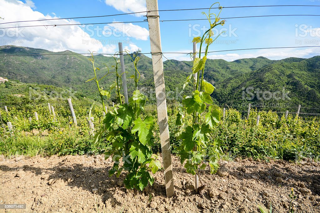 Vineyards with grape vines in early summer in Italy stock photo