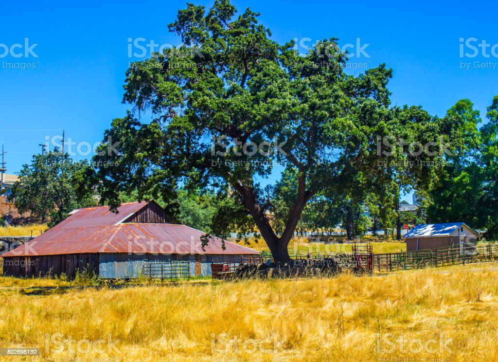 Vintage Barn Beneath Large Oak Tree stock photo