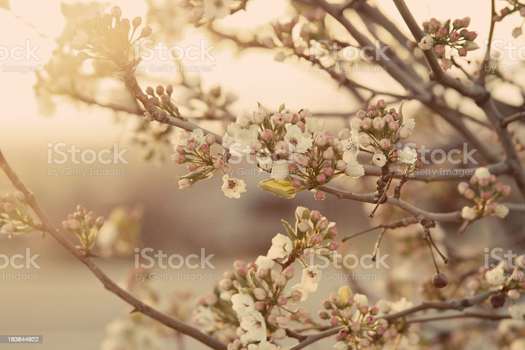 Vintage blossom tree stock photo