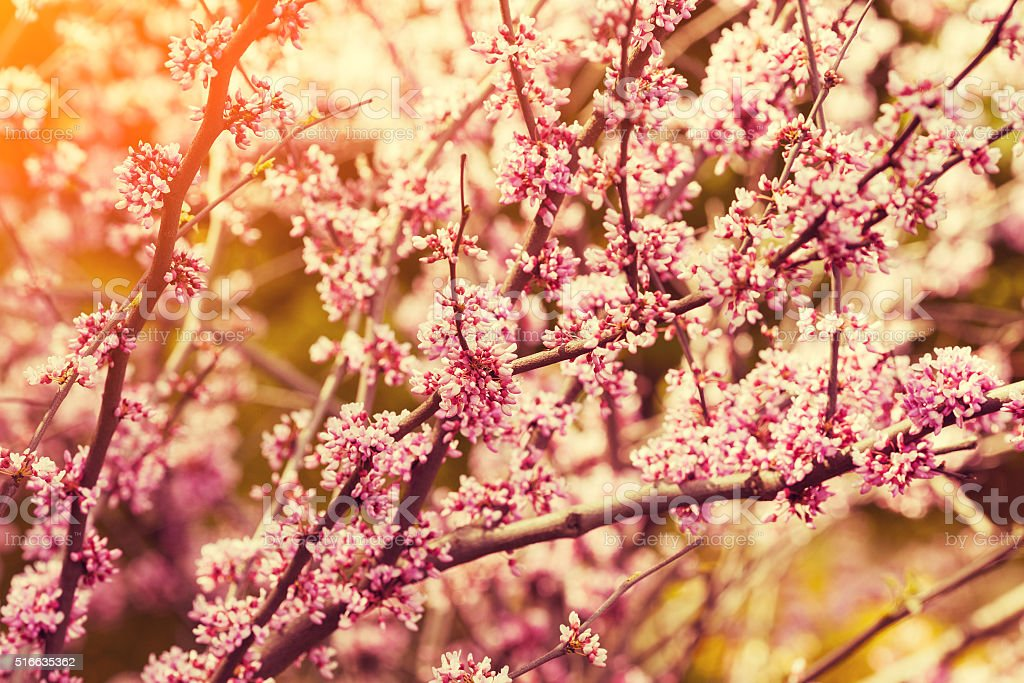 Vintage blossoming apple branch stock photo