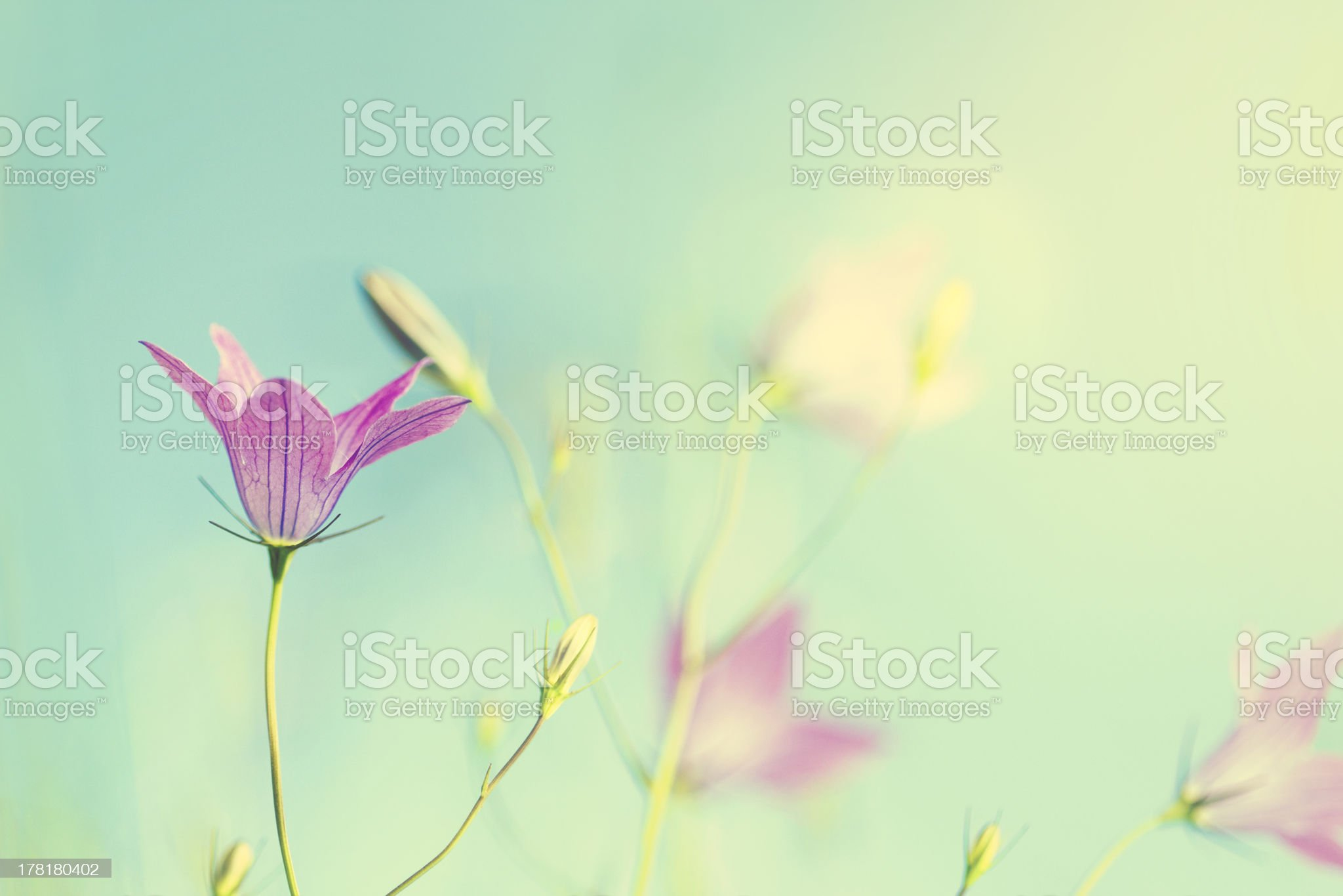 Vintage Bluebell royalty-free stock photo