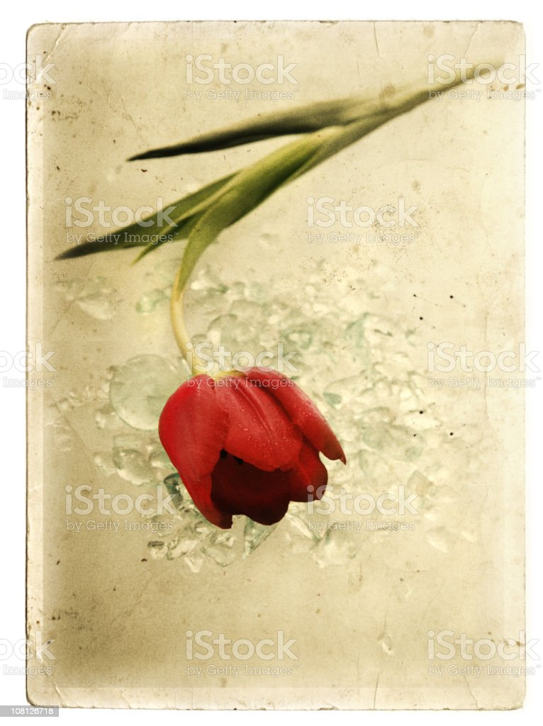 Vintage card of a tulip and ice royalty-free stock photo