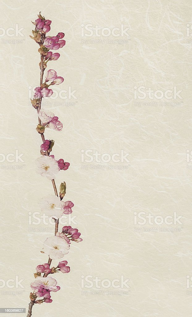 Vintage cherry blossom. royalty-free stock photo