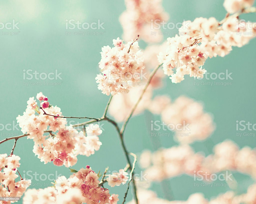 Vintage cherry blossoms stock photo