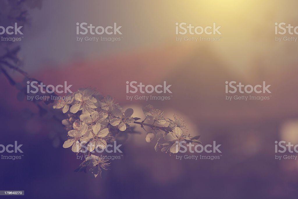 Vintage cherry flower with background building royalty-free stock photo