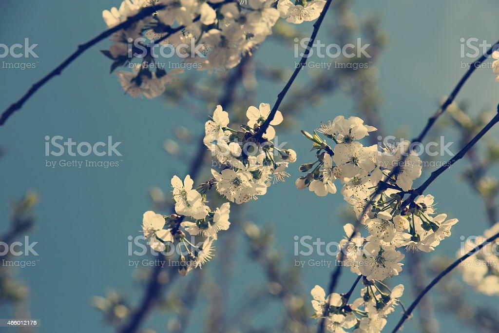 Vintage cerezo. Spring. Blossom foto de stock libre de derechos