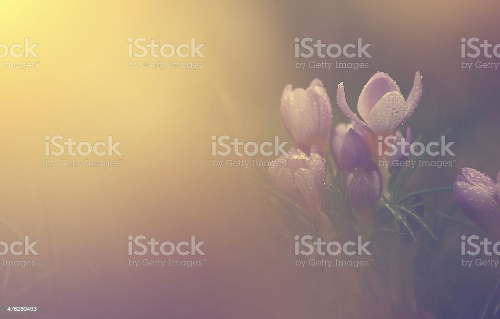 Vintage crocus flower royalty-free stock photo