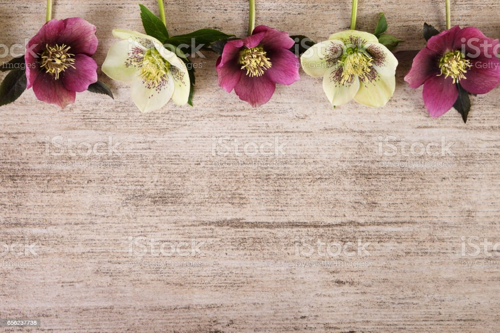Vintage frame spring flowers of hellebore on light brown rustic background stock photo