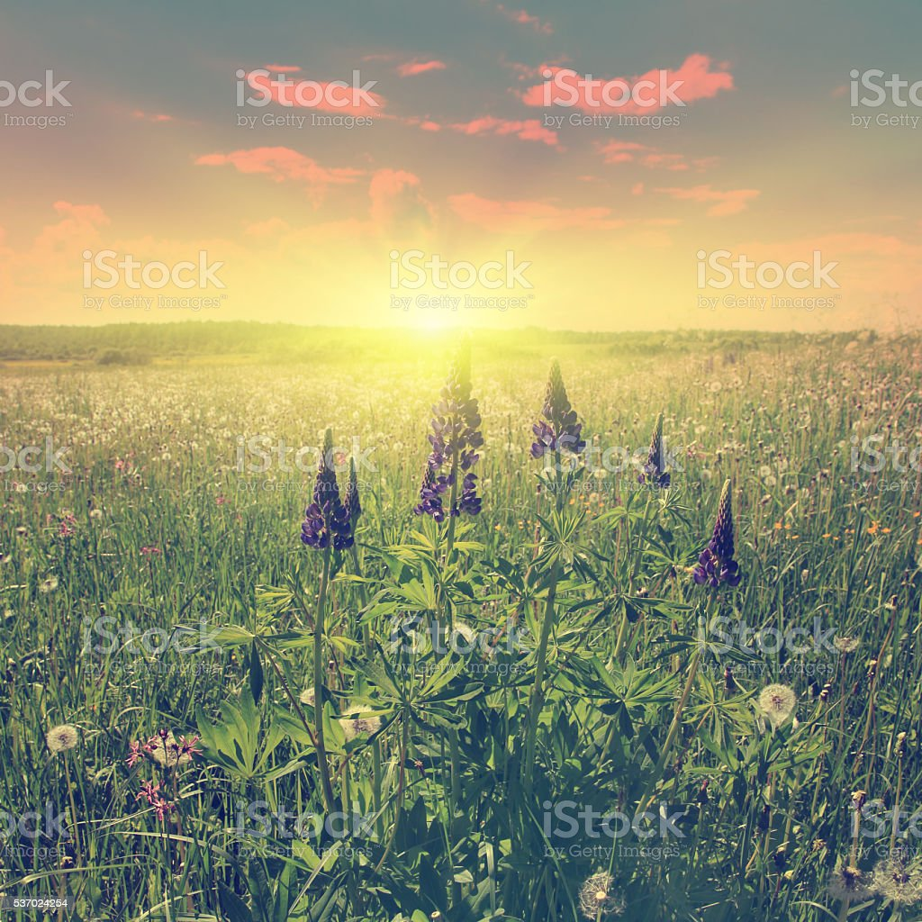 Vintage image of summer field at sunset. stock photo