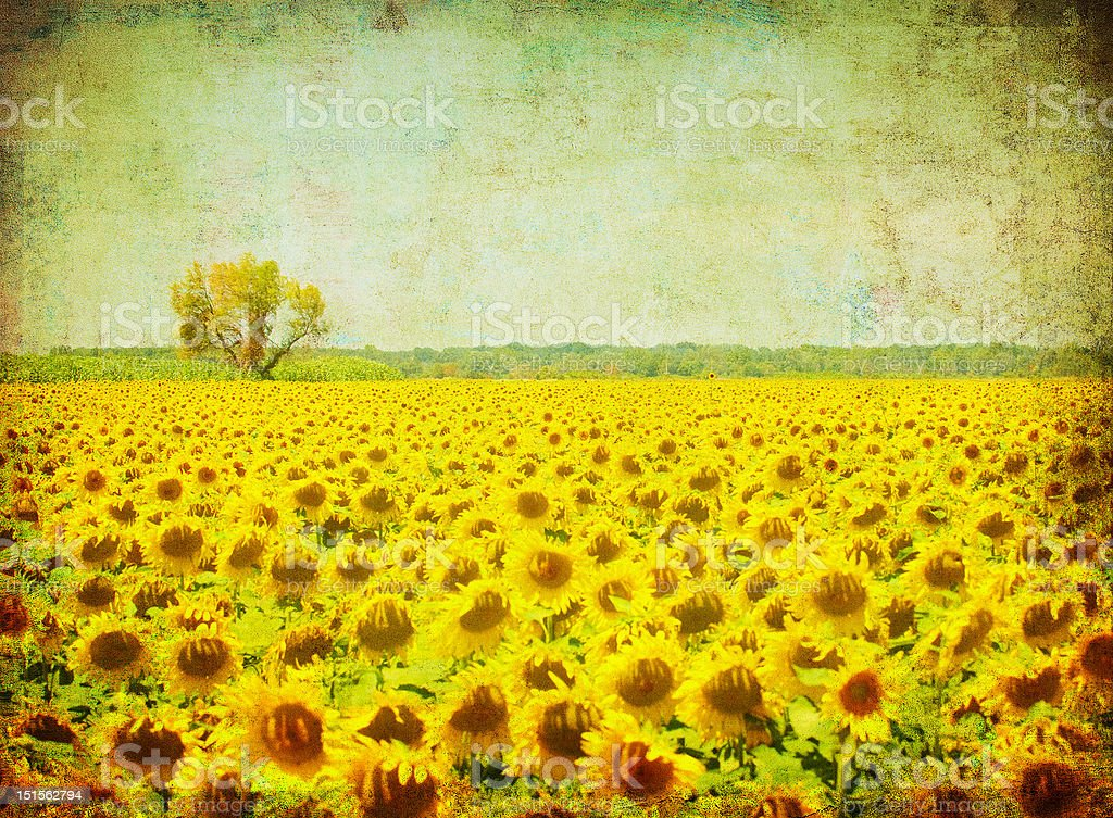 vintage image of sunflower field royalty-free stock photo