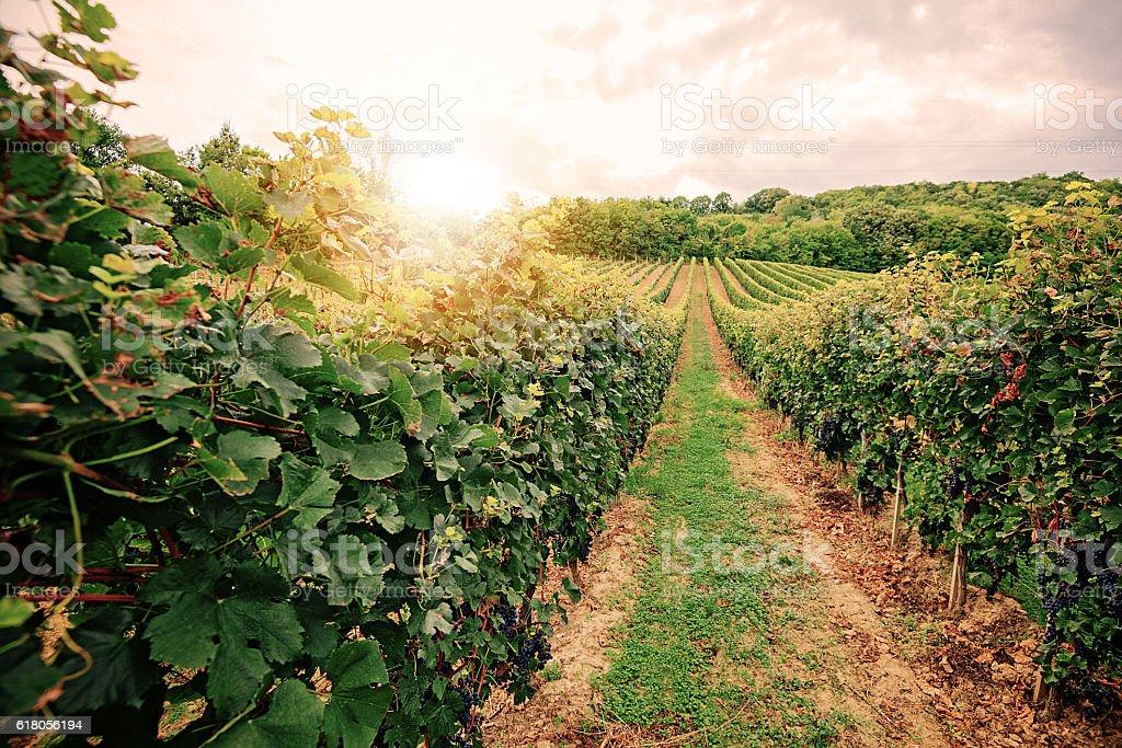 Vintage image of vineyard in late summer stock photo