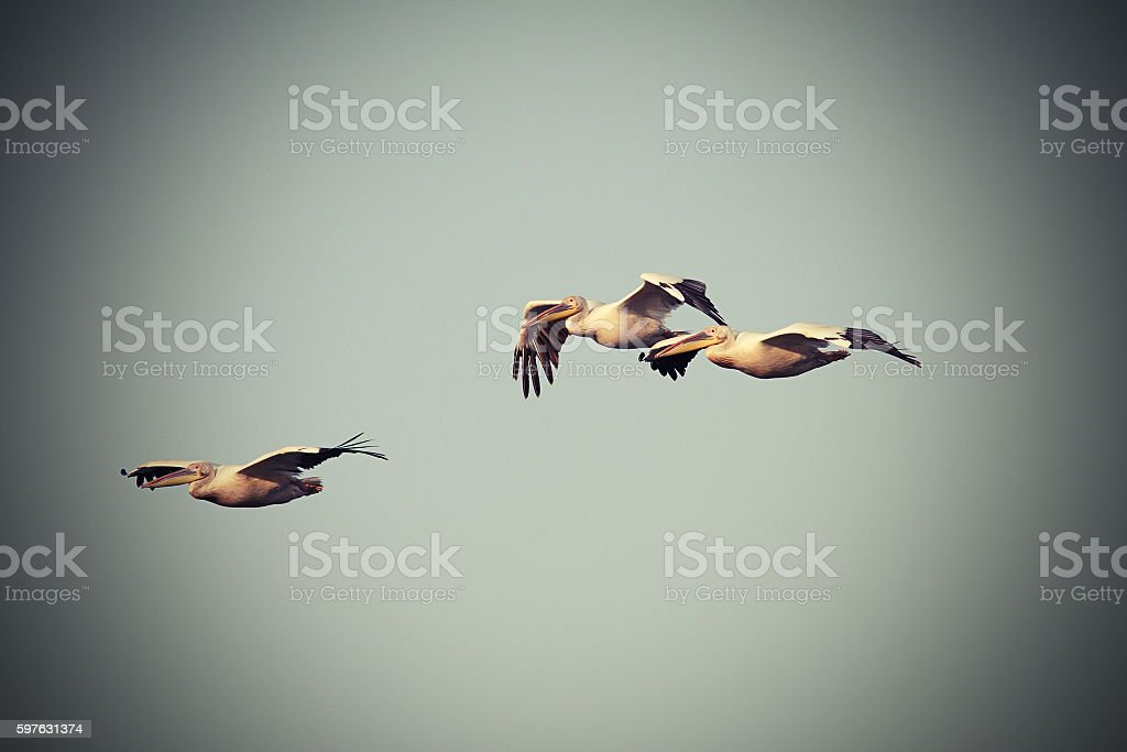 vintage image with three pelicans in flight stock photo