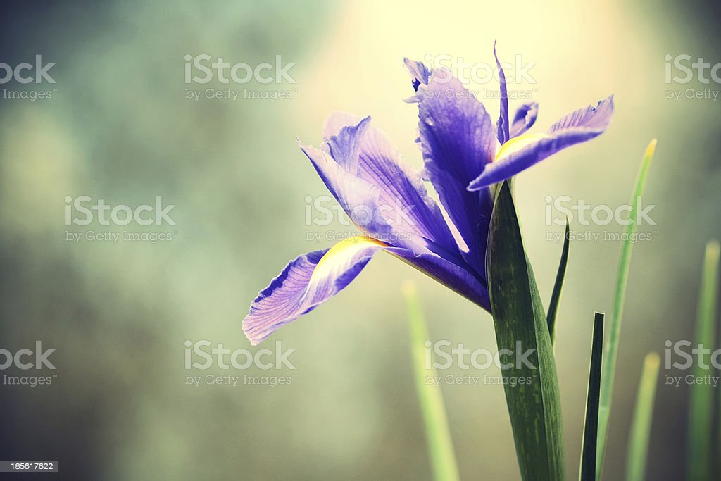 Vintage iris flower royalty-free stock photo