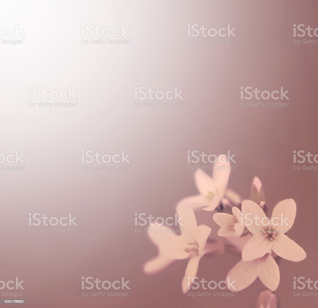 Vintage Look Photo of Flowers. Cutleaf Toothwort royalty-free stock photo