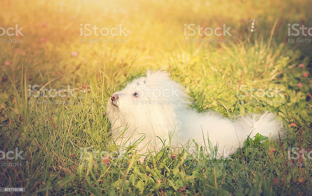 Vintage photo of a Bichon bolognese in the park stock photo