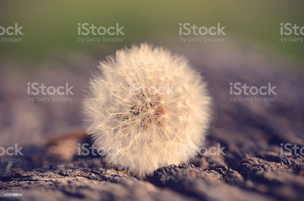 Vintage photo of a dandelion seed stock photo