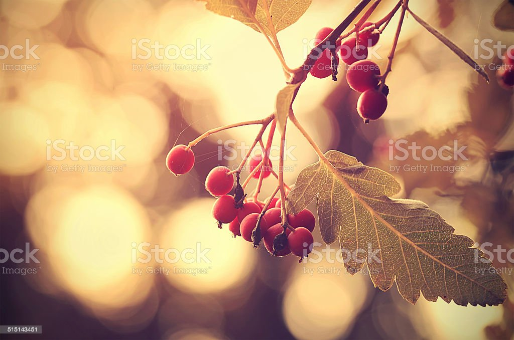 Vintage photo of a red berries stock photo