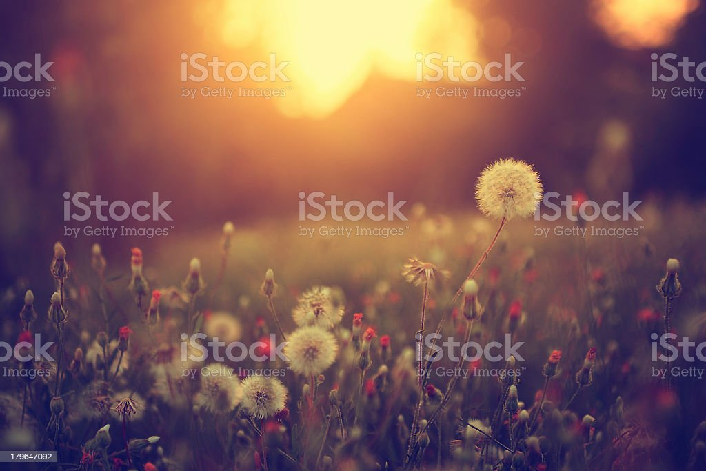 Vintage photo of dandelion field at sunset stock photo