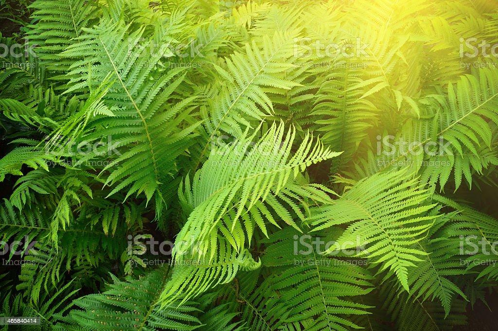 Vintage photo of lush green fern. Pteridium aquilinum stock photo
