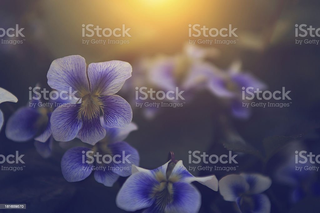 Vintage photo of violet flower royalty-free stock photo