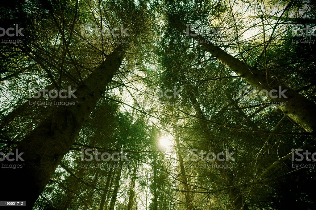vintage picture: looking up at trees stock photo