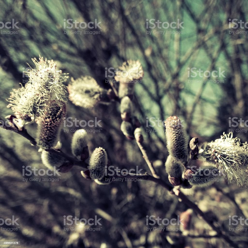 Vintage picture: willow, osier, sallow stock photo
