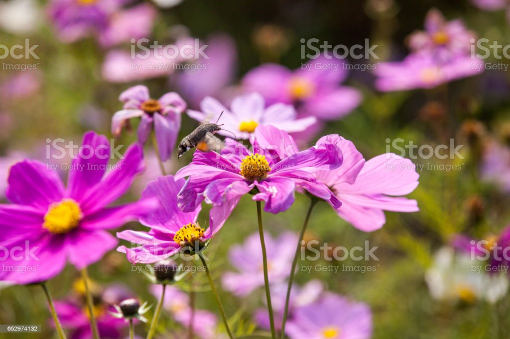 Vintage Pink Cosmos flowers with sky stock photo