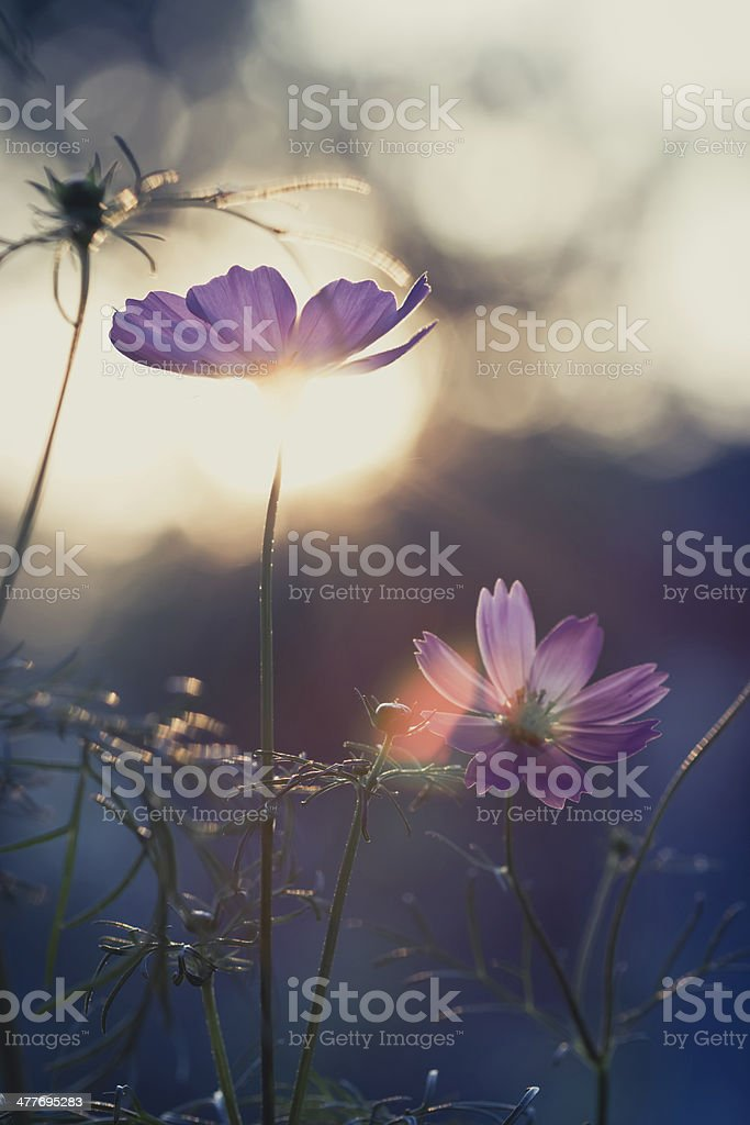 vintage pink cosmos on field in sunset time royalty-free stock photo