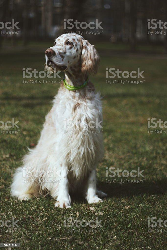Vintage portrait of white furry dog stock photo