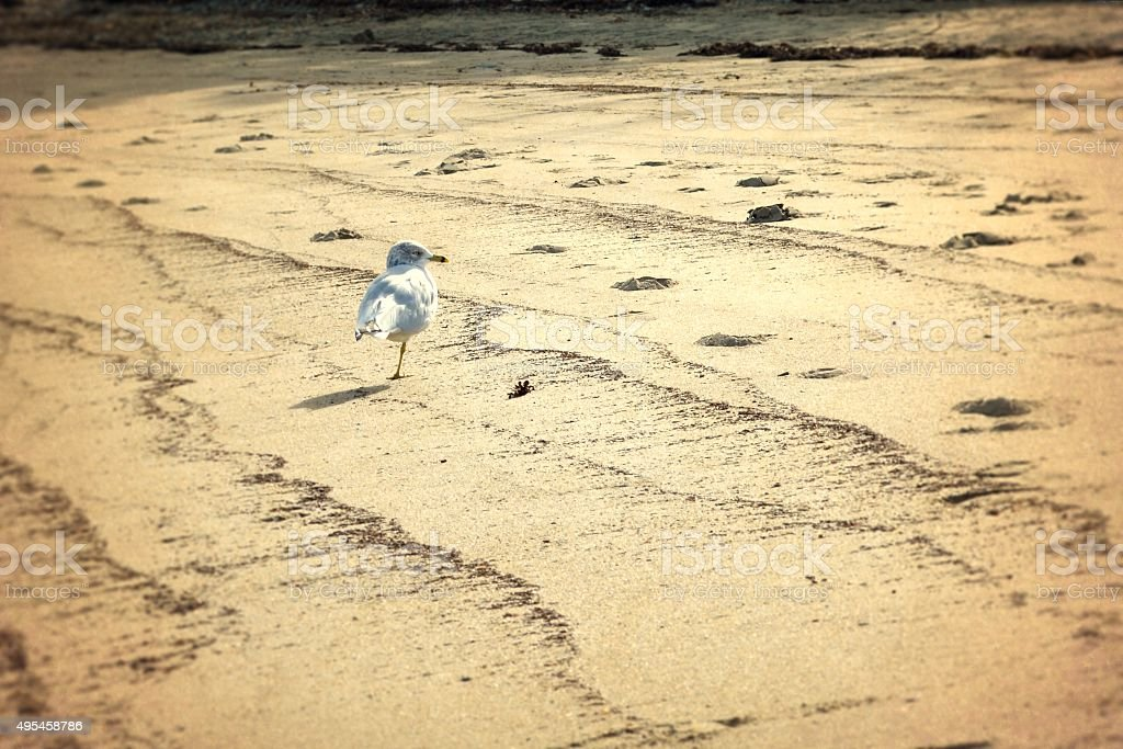 Vintage Portrait of White Seagull Standing on a Sandy Beach stock photo