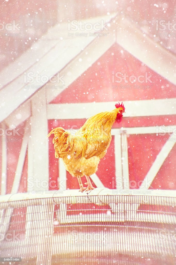 Vintage Rooster Crowing At Winter Day's First Light stock photo