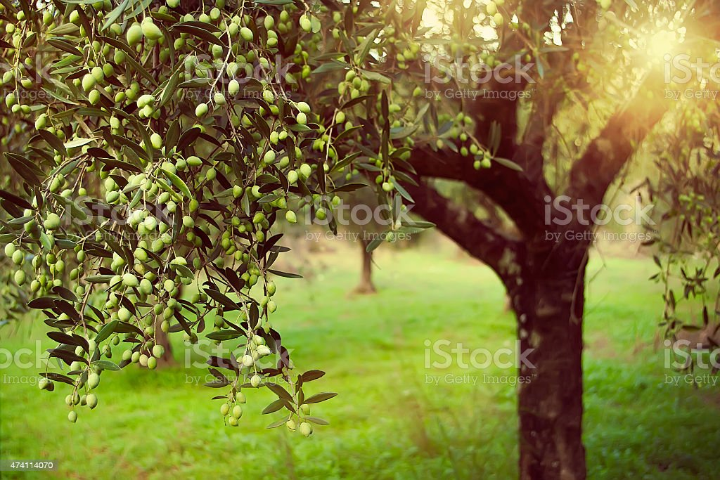 Vintage toned olive grove with sunlight beams stock photo