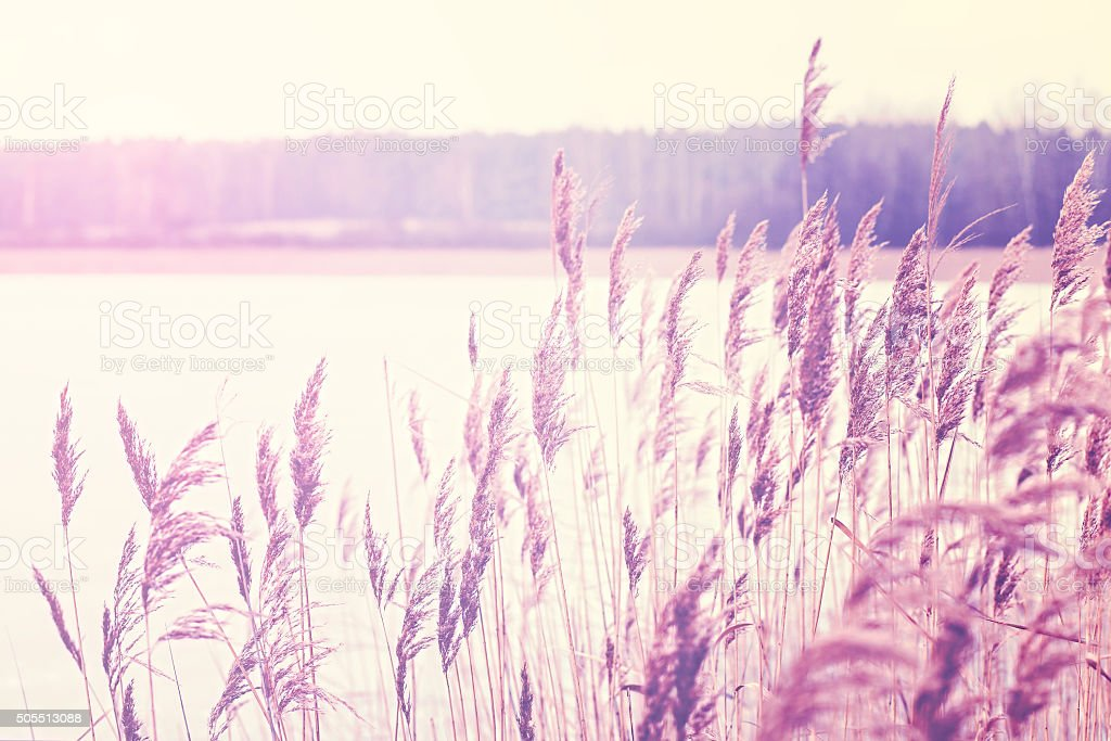Vintage toned reed by a lake, nature background. stock photo
