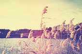Vintage toned reeds by a lake, shallow depth of field.