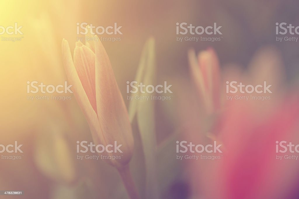 Vintage tulip royalty-free stock photo