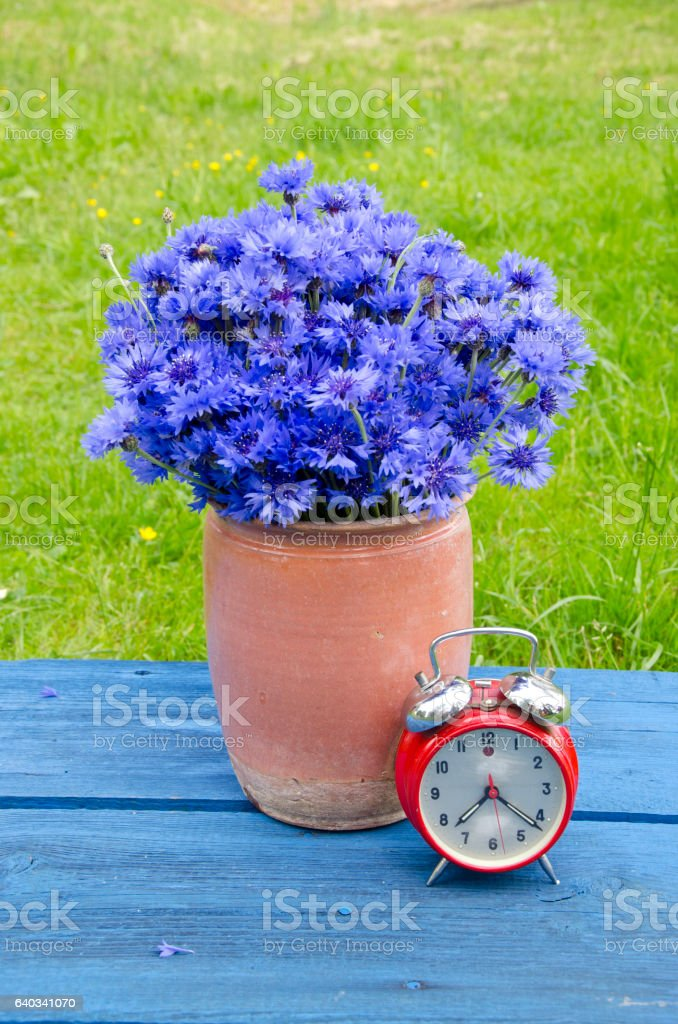 vintage   vase with cornflowers and red alarm clock on  table stock photo