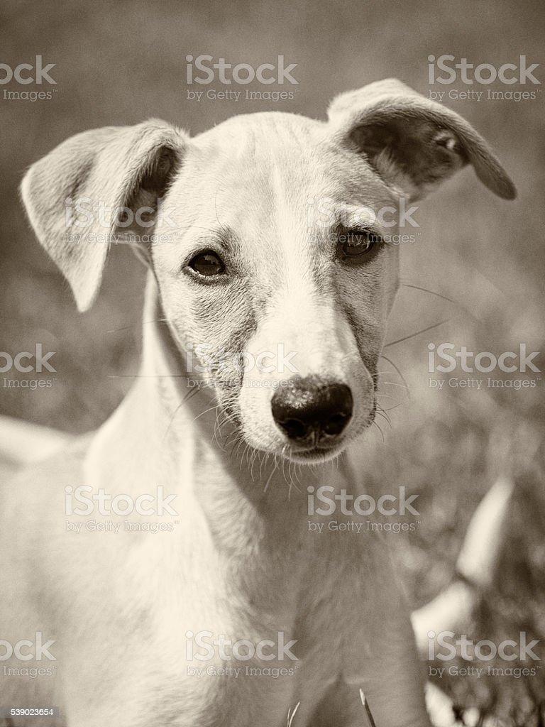 Vintage whippet puppy portrait stock photo