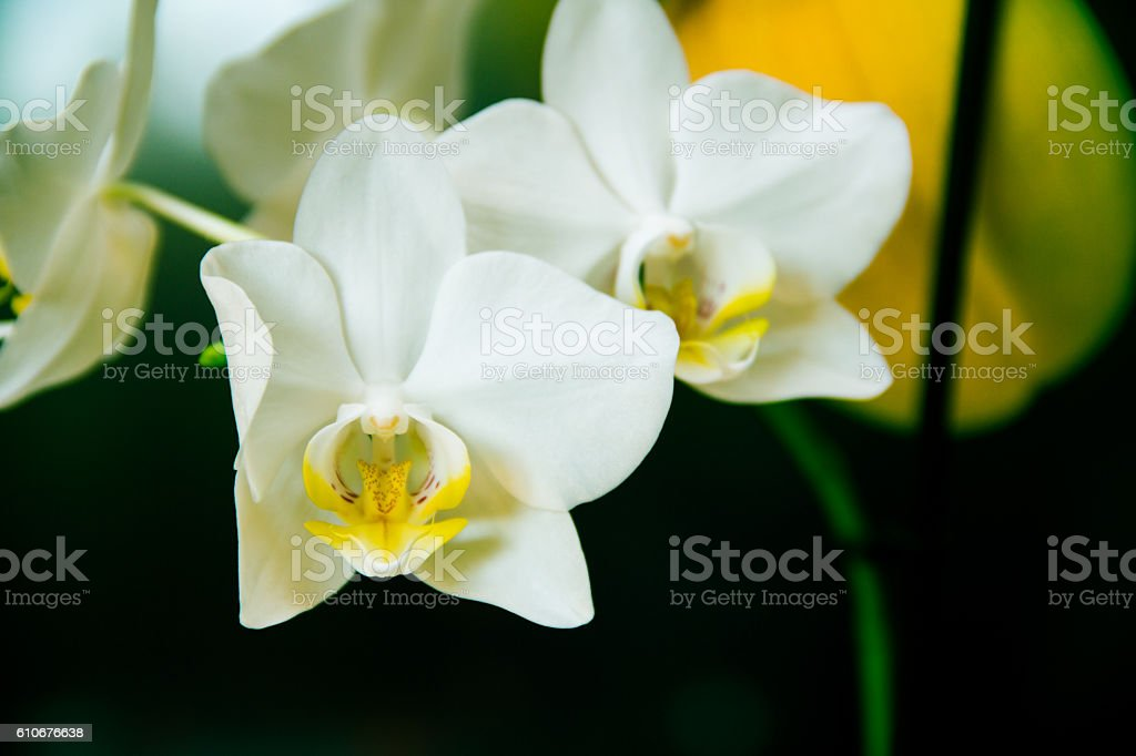 Vintage white orchids stock photo