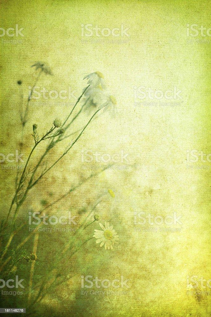 Vintage Wildflowers – Marguerites royalty-free stock photo